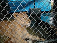 Nikita Lion Before Arrival at Big Cat Rescue in 2001