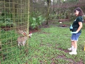 Board member Mary Lou talks to Little Feather bobcat while cleaning her cage