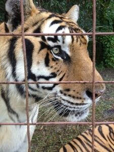 Tigers line up for treats that double as flea prevention treats and bribes