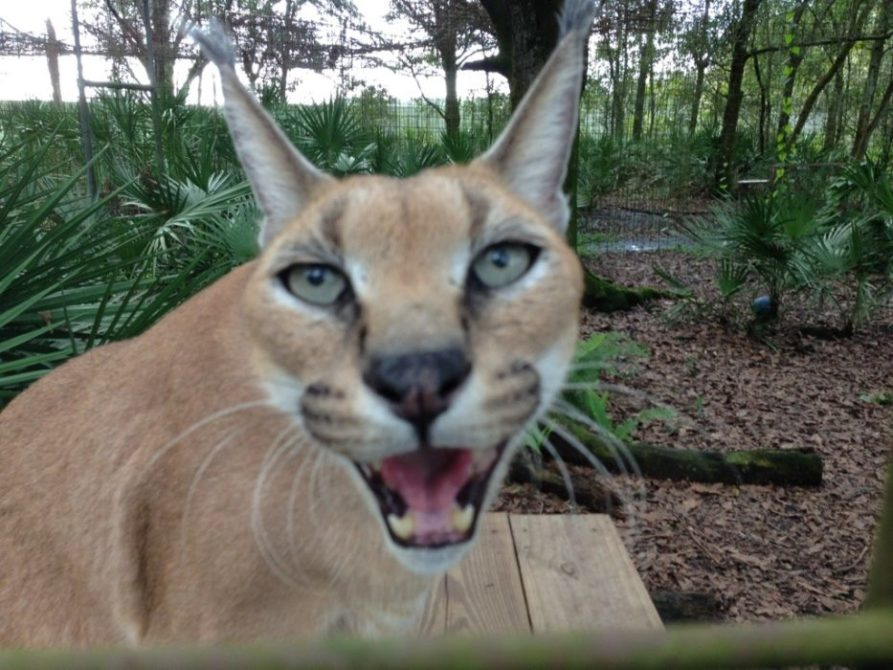 Today at Big Cat Rescue Oct 4 2012
