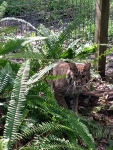 Tommie Girl bobcat hiding in the ferns of her Cat-a-Tat