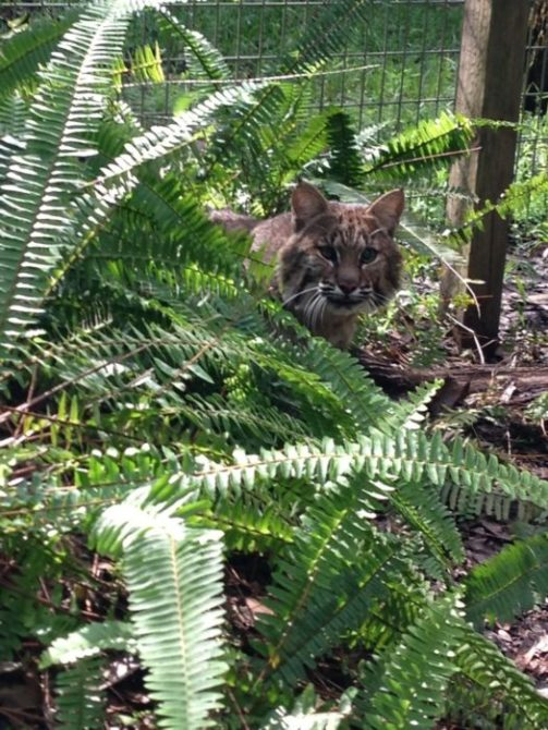 Tommie Girl bobcat hiding in the ferns of her Cat-a-Tat.  Click to enlarge.