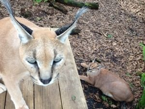 Rusty and Sassy Caracals watch Jade being moved out of her cage