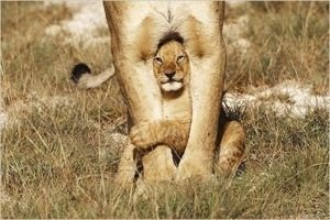 Somewhere in the wild a cub lives with his real family