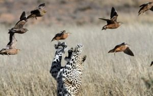 Somewhere in the wild a leopard thrills at the chase