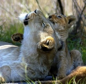 Somewhere in the wild a mother gets to raise her own cubs