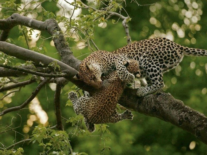 Somewhere in the wild leopards get to do whatever they want