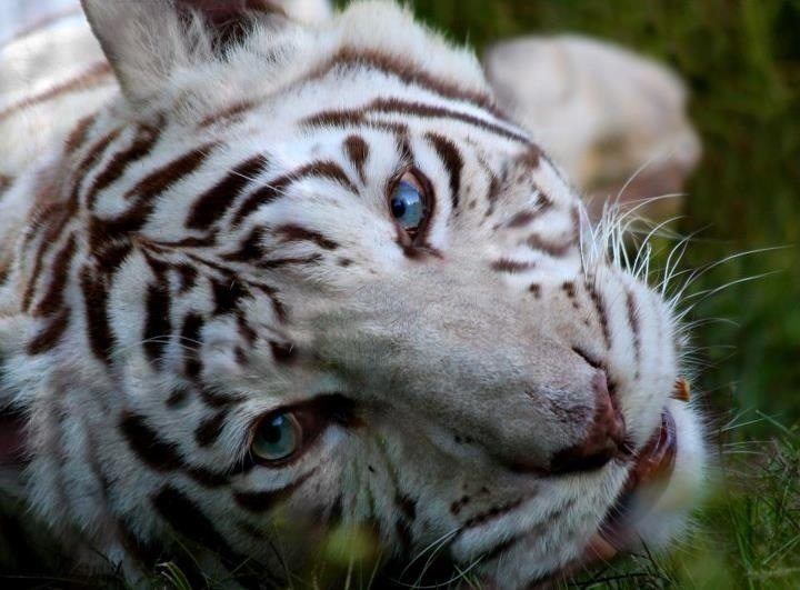Zabu the white tigeress at Big Cat Rescue
