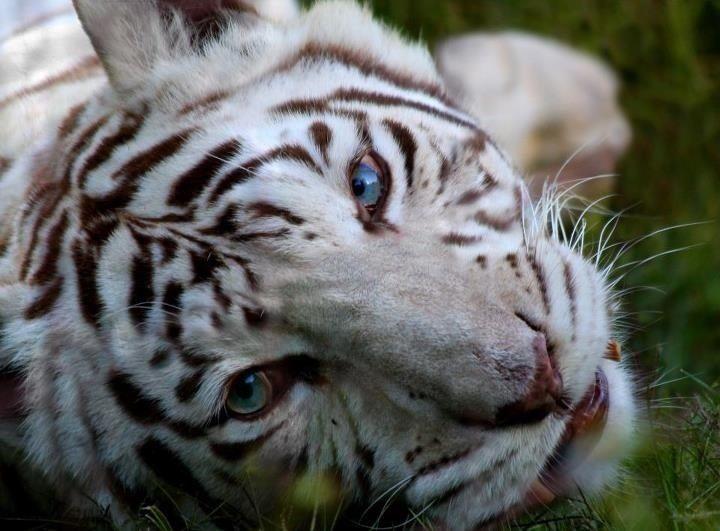 Zabu the white tigeress at Big Cat Rescue