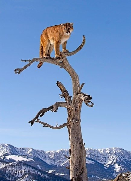 Somewhere in the wild a mountain lion knows the sky's the limit