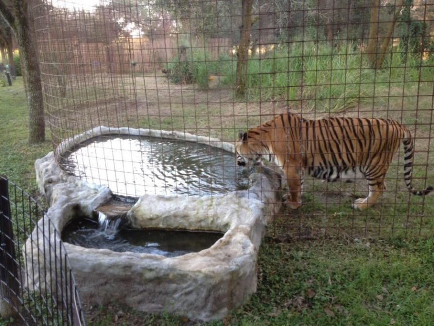 Bengali looks at his reflection in the pool