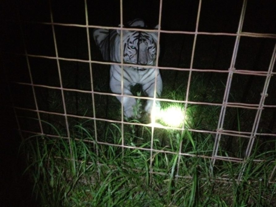 Chris catches Zabu the tiger stalking the night filming crew