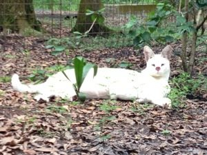 Tonga the white serval doing well after cancer surgery