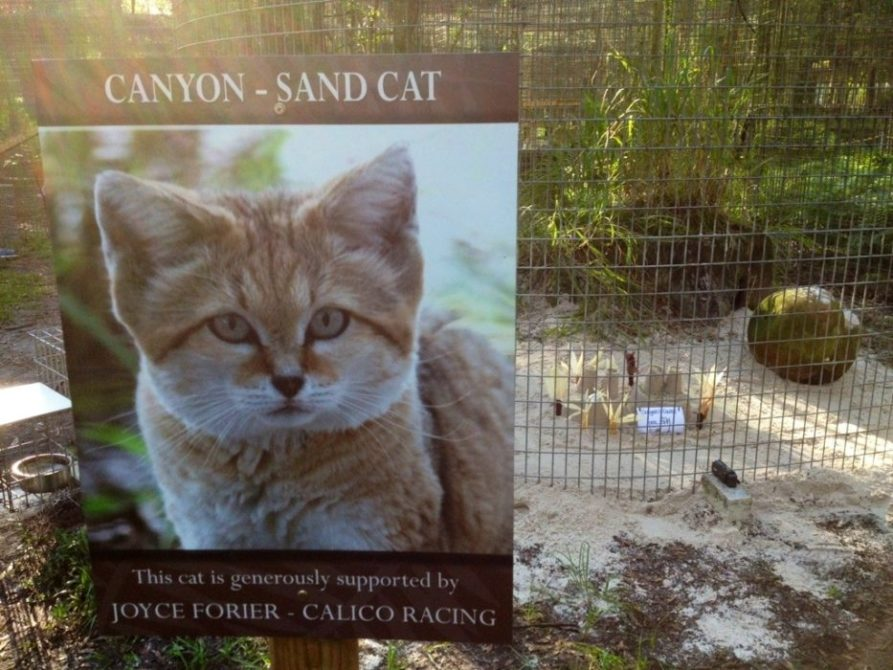 Canyon the Sand Cat get sand enrichment for his Cat-a-Tat