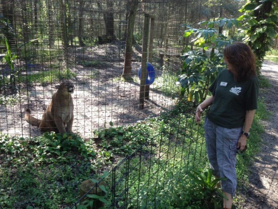 Big cats love their Keepers, Partners and Supporters at Big Cat Rescue