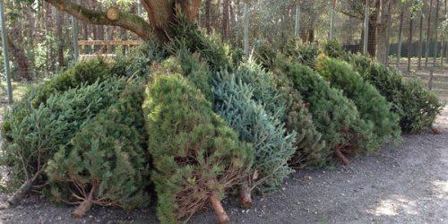 ChristmasTreeRoundup2012_0120