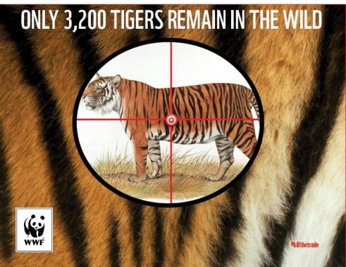 WWF 3200 Tigers Left