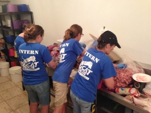Interns prepare food for 100 exotic cats at Big Cat Rescue