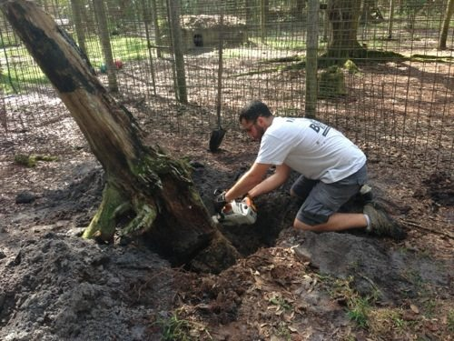 Dr Justin Boorstein performs surgery with chainsaw on tree