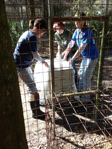 Volunteers move a squeeze cage into position to cat an ailing wild cat
