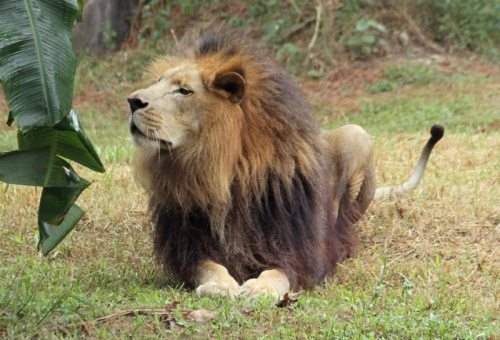 Lions Threatened or Protected Species