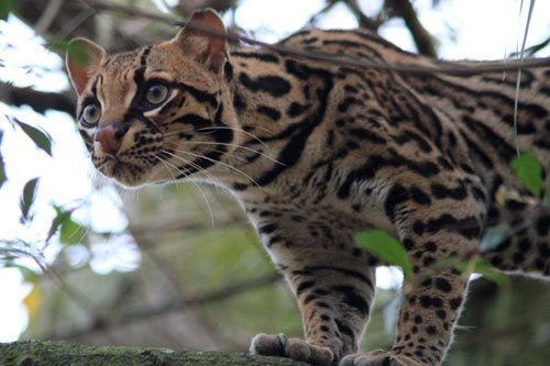 Ocelot_Purrfection