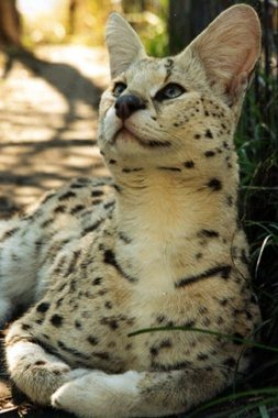 White Footed Serval Frosty