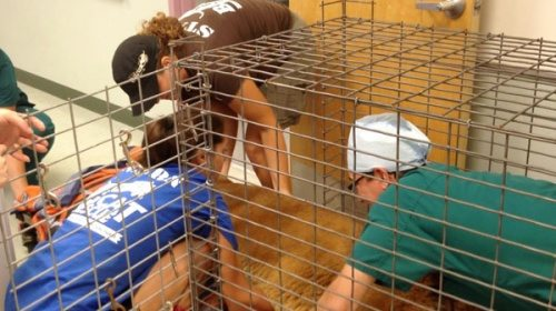 Cougar transport cage