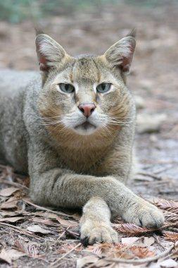 JungleCatRambo2013