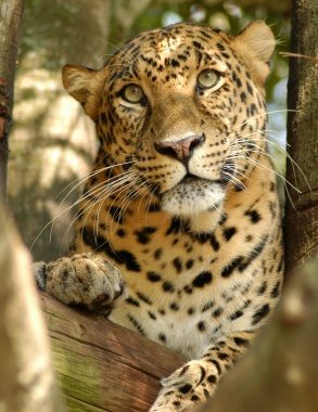 Leopard Cheetaro 2013