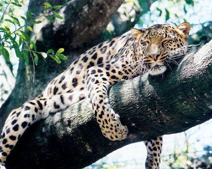 LeopardSimba2013