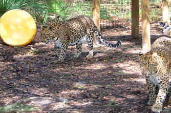 Leopards-Armani Jade
