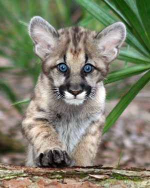 Mountain Lion Cub Stolen From The Wild