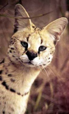 sleek serval cat