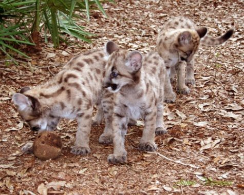 Three Mountain Lion Cubs