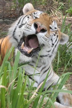 TigerTJ2013