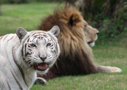 White Tiger Zabu Lion Cameron Big Cat Rescue