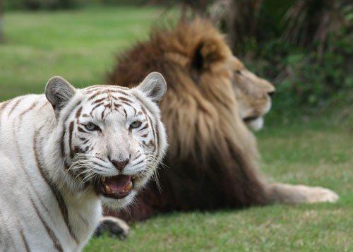 White Tiger Zabu Lion Cameron Big Cat Rescue