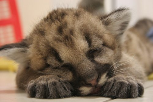 mountain lion cub sleeping