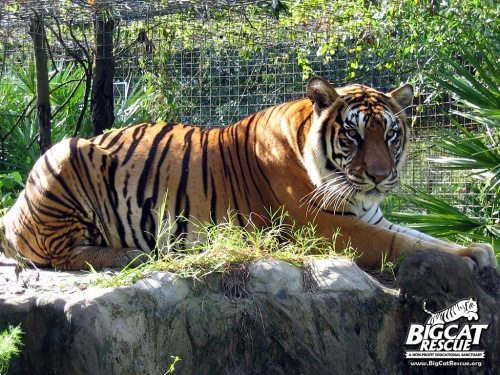 Tigers are poached in the wild because of captive trade smokescreen
