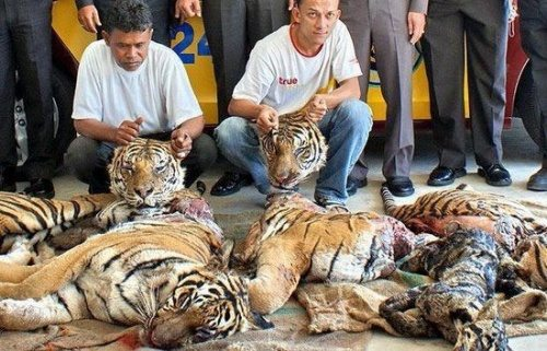 Dead Indochinese Tigers