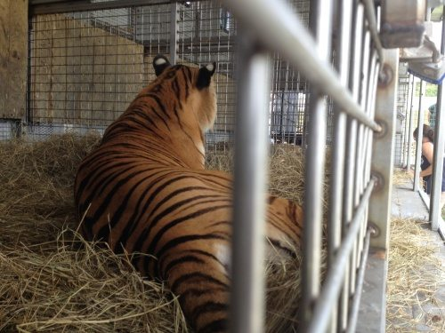 Flavio tiger in a circus beast wagon
