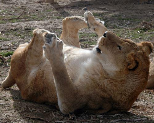 "Nikita Lion ""I Haz Feets"""