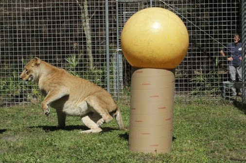 Nikita Lion and her yellow ball