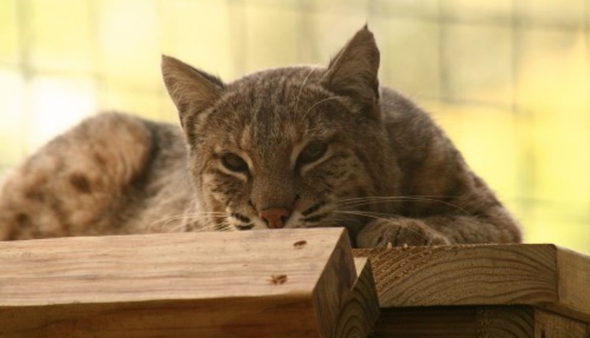 Bobcat-Mary-Ann