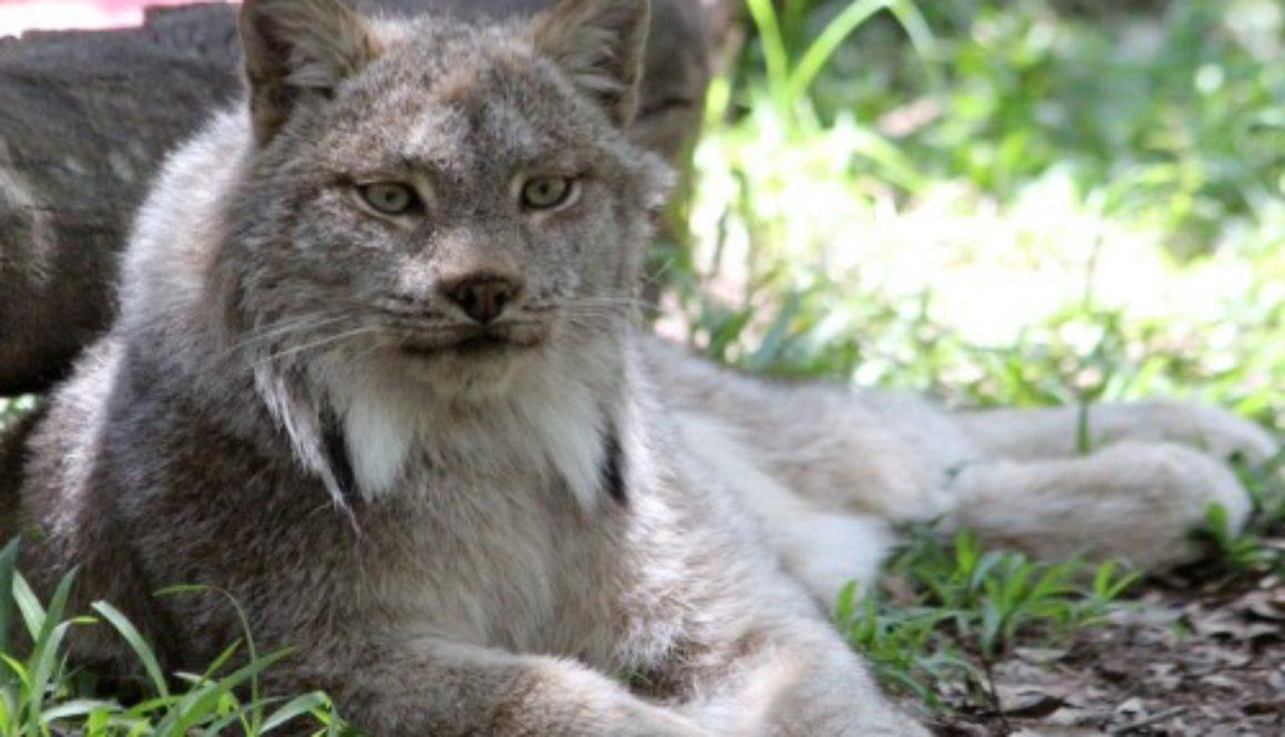 Canada Lynx at Big Cat Rescue
