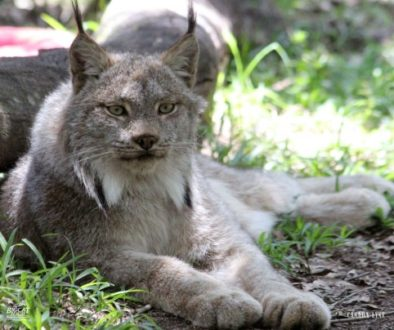 Canada Lynx at Big Cat Rescue