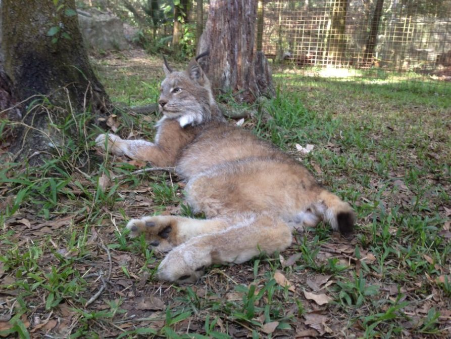 Now at Big Cat Rescue May 3 2014