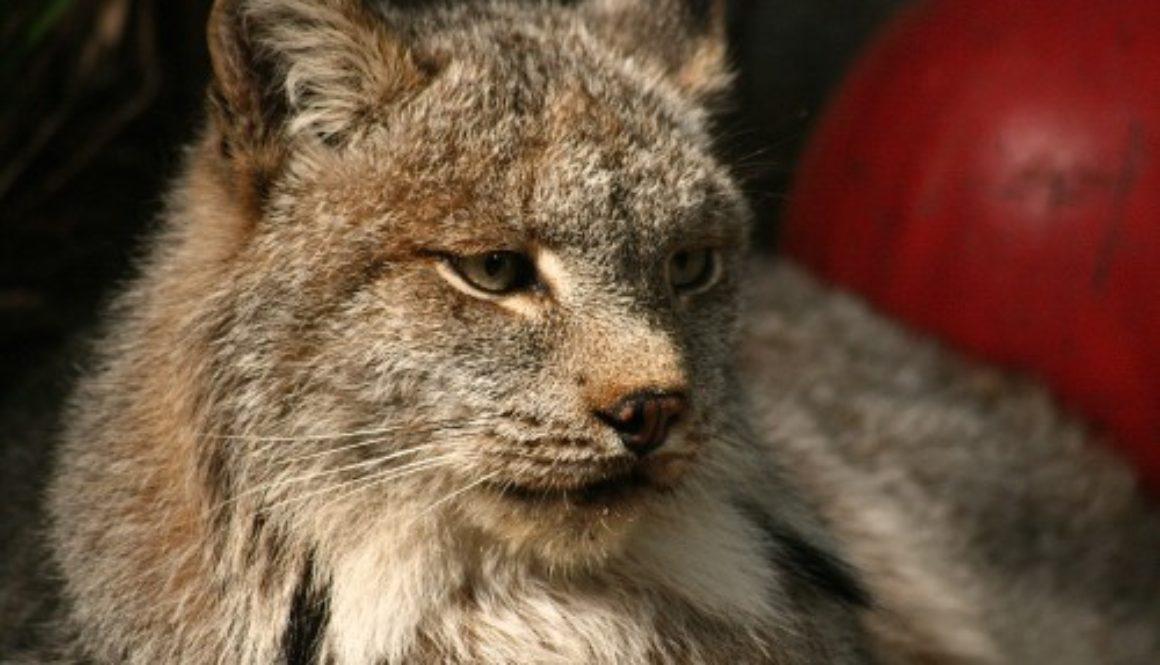Canada-Lynx