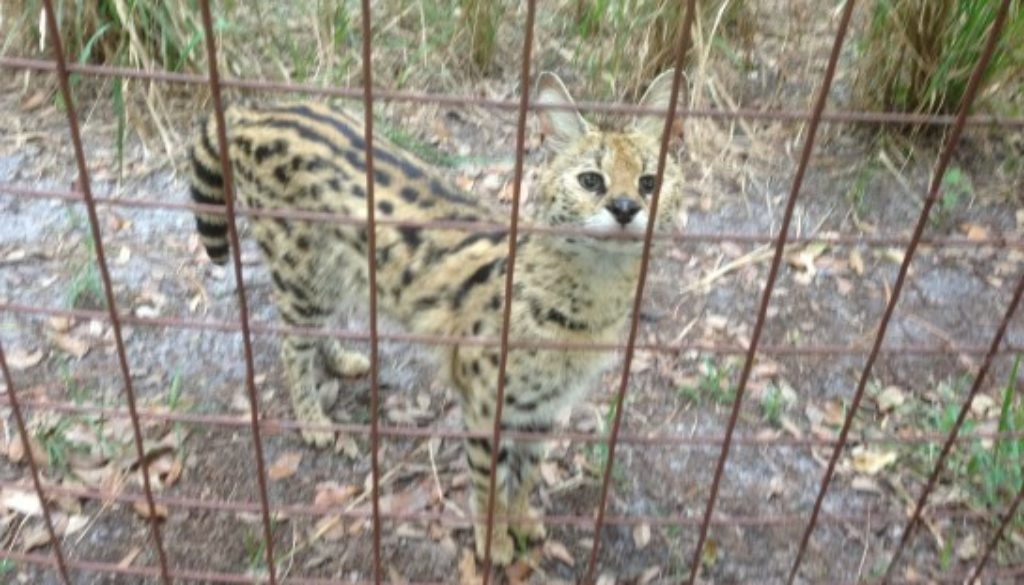 Ginger the serval